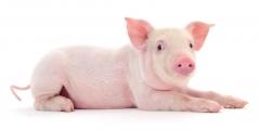 SwineTech, Inc.